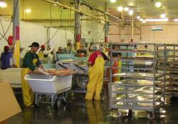 Salmon processing in Alaska picture