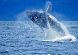 Kodiak Alaska whale photo
